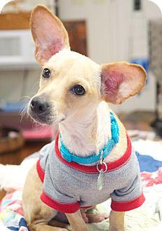 Dachshund/Chihuahua Mix Dog for adoption in Huntsville, Alabama - Dougie