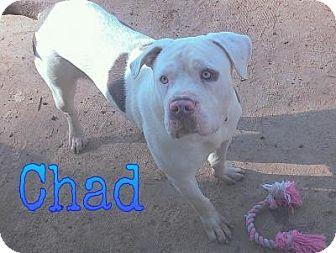 American Bulldog Puppy for adoption in Ringgold, Georgia - Chad