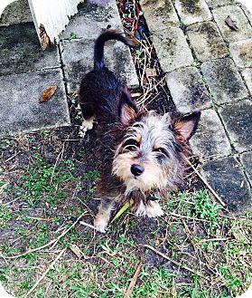 Yorkie, Yorkshire Terrier/Australian Terrier Mix Dog for adoption in Miami, Florida - Buddy