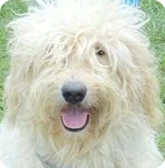 Goldendoodle Dog for adoption in Wakefield, Rhode Island - JASMINE(OUR GOLDENDOODLE!! WOW