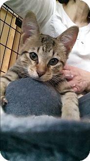 American Shorthair Kitten for adoption in Westland, Michigan - Jackie