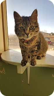 Domestic Longhair Cat for adoption in Cody, Wyoming - Katy