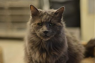 Persian Cat for adoption in Beacon, New York - Joey
