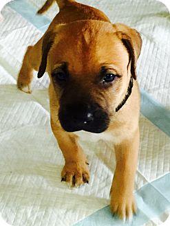 American Bulldog Mix Puppy for adoption in Moyock, North Carolina - Chip