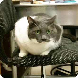 Domestic Shorthair Cat for adoption in Arlington/Ft Worth, Texas - Paws