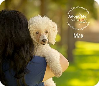 Poodle (Standard) Mix Dog for adoption in Friendswood, Texas - Max