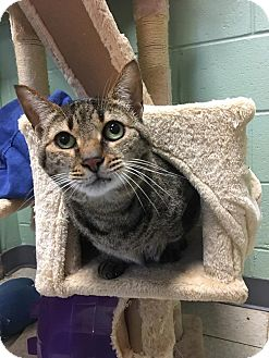 Domestic Shorthair Cat for adoption in Union, New Jersey - Precious