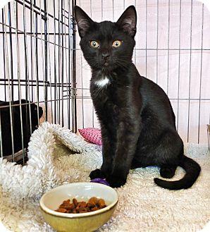 Domestic Shorthair Kitten for adoption in Philadelphia, Pennsylvania - Pan
