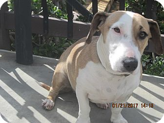 Bull Terrier/Basset Hound Mix Dog for adoption in La Mesa, California - LUCY