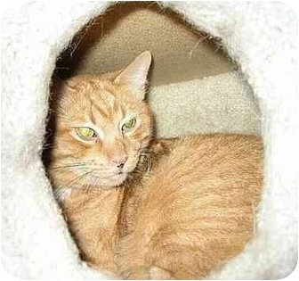 Domestic Shorthair Cat for adoption in cincinnati, Ohio - JAZZ Lovers I