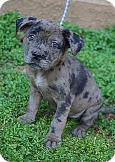Shar Pei Mix Puppy for adoption in West Nyack, New York - Keevah