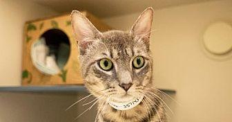 Domestic Shorthair Cat for adoption in New York, New York - Duncan