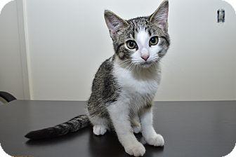 Domestic Shorthair Kitten for adoption in Middleton, Wisconsin - Gamora