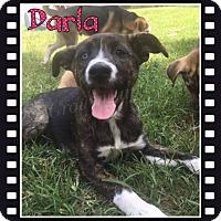 Adopt A Pet :: Darla - Stuart, VA