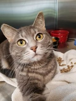 Domestic Shorthair/Domestic Shorthair Mix Cat for adoption in Chambersburg, Pennsylvania - Polly