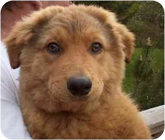 Golden Retriever/Collie Mix Puppy for adoption in Avon, New York - Gerry