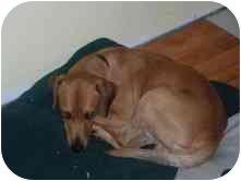 Dachshund/Beagle Mix Dog for adoption in Newington, Connecticut - Sylvester