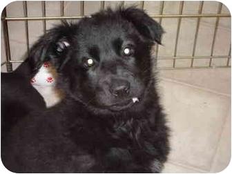 German Shepherd Dog/Labrador Retriever Mix Puppy for adoption in Washington, North Carolina - Lucy