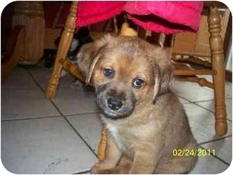German Shepherd Dog/Chow Chow Mix Puppy for adoption in Oak Lawn, Illinois - Keanu