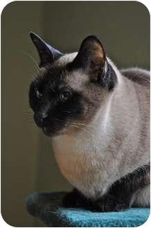 Siamese Cat for adoption in Toronto, Ontario - Ruby