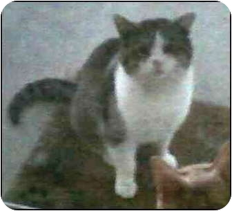 American Shorthair Cat for adoption in Madison, Tennessee - Julian - sad story