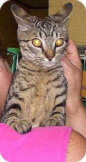 Domestic Shorthair Kitten for adoption in Somerset, Pennsylvania - Otis