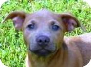 Shepherd (Unknown Type)/Retriever (Unknown Type) Mix Puppy for adoption in Lincolnton, North Carolina - Tess