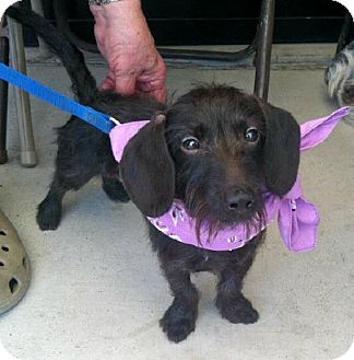 Dachshund Dog for adoption in San Angelo, Texas - Pickles