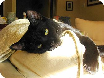 Domestic Shorthair Cat for adoption in Cambridge, Ontario - Cole