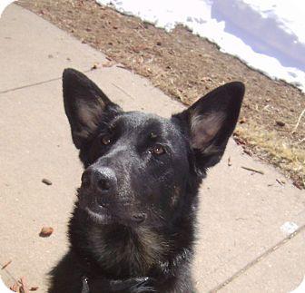 German Shepherd Dog Mix Dog for adoption in Denver, Colorado - Merlin