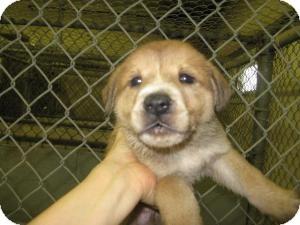 Labrador Retriever Mix Puppy for adoption in Rocky Mount, North Carolina - Shane