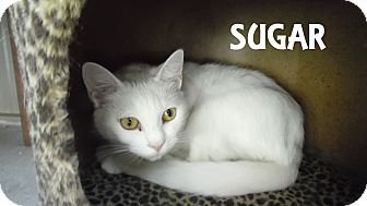 Domestic Shorthair Cat for adoption in Franklin, North Carolina - SUGAR