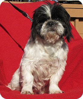 Shih Tzu Mix Dog for adoption in Oakland, Arkansas - Vera