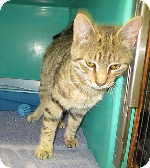 Domestic Shorthair Cat for adoption in Elizabeth City, North Carolina - Sweets