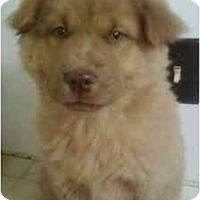 Adopt A Pet :: Shang Hai - Greenville, SC