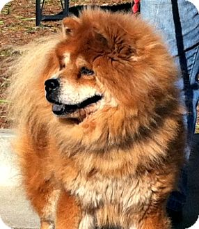 Chow Chow Dog for adoption in Tucker, Georgia - Sam