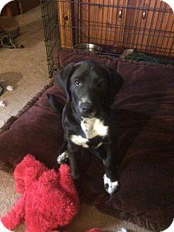 Labrador Retriever/Hound (Unknown Type) Mix Puppy for adoption in Macon, Georgia - Garland