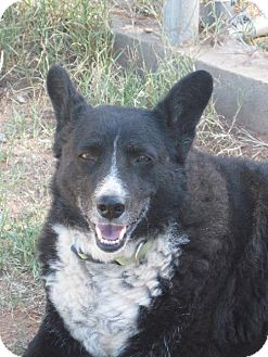 Australian Cattle Dog/Border Collie Mix Dog for adoption in Las Cruces, New Mexico - Gypsy