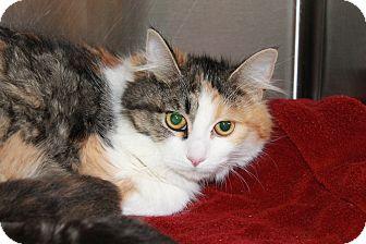 Calico Cat for adoption in Windsor, Virginia - April