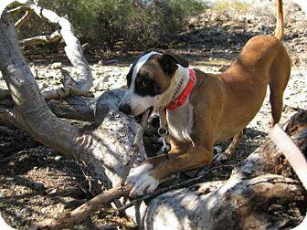 Boxer/Labrador Retriever Mix Dog for adoption in Phoenix, Arizona - Nico