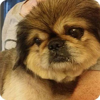 Pekingese Mix Dog for adoption in SO CALIF, California - FYNN