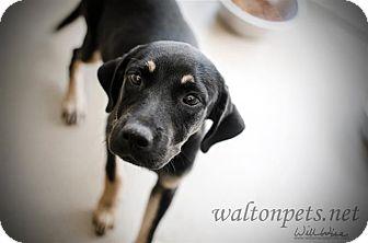Beagle/Labrador Retriever Mix Dog for adoption in Media, Pennsylvania - PARKER BABY