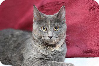Domestic Shorthair Kitten for adoption in Midland, Michigan - Daisy