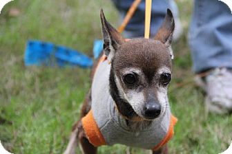 Chihuahua Dog for adoption in Sanford, Florida - Tynee