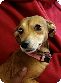 Chihuahua/Dachshund Mix Dog for adoption in Ahoskie, North Carolina - Tia