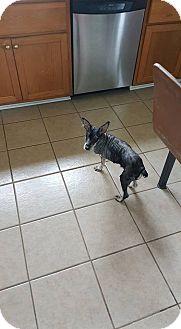Miniature Schnauzer Dog for adoption in Pataskala, Ohio - Buddy