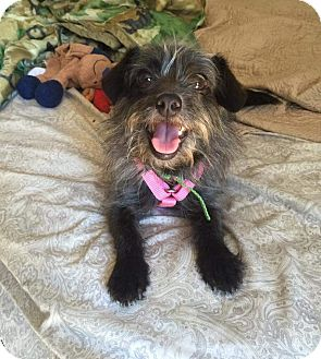 Terrier (Unknown Type, Small) Mix Dog for adoption in Concord, California - willow