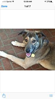 Shepherd (Unknown Type) Puppy for adoption in Bedford Hills, New York - BuBu