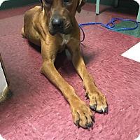 Adopt A Pet :: Ruby - Goodlettsville, TN