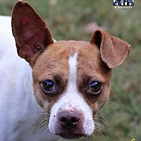 Chihuahua/Jack Russell Terrier Mix Dog for adoption in Roswell, Georgia - Eli
